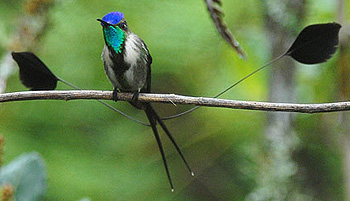 hum marvelous spatuletail